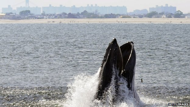 Humpback Whales Increasing in Waters Near NYC and NJ