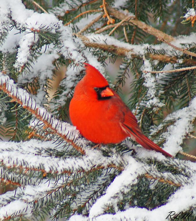 Live, aves de rapiña voladoras, y un paseo por Lawson en invierno - Ingersoll District Nature Club